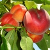 Picture of Peach Springcrest