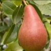Picture of Pear Concorde Dwf QuC