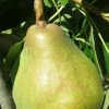 Picture of Pear Dble Doyenne Du Comice/Winter Nelis