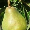 Picture of Pear Dble Doyenne Du Comice/Packham Triumph