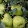 Picture of Pear Packhams Triumph