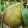 Picture of Pear Winter Cole CM