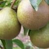 Picture of Pear Winter Nelis QuA