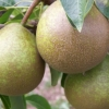 Picture of Pear Winter Nelis QN