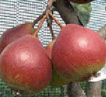 Picture of Pear Worden Seckel