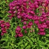Picture of Penstemon Boysenberry Taffy