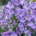 Picture of Penstemon Cha Cha Lavender