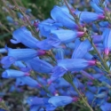 Picture of Penstemon Electric Blue