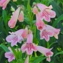 Picture of Penstemon Hidcote Pink