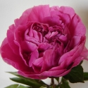 Picture of Peony Dr Alexander Fleming tuber