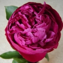 Picture of Peony Red Sarah tuber