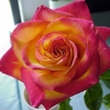 Picture of Perfect Moment-Rose