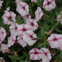 Picture of Petunia Pink Star Charm
