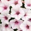 Picture of Petunia Vista Silverberry