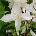 Picture of Philadelphus Birchlands