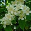 Picture of Philadelphus Coronarius