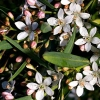 Picture of Philotheca Profusion