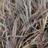 Picture of Phormium Black Magic