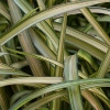 Picture of Phormium Blondie