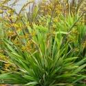 Picture of Phormium Cookianum