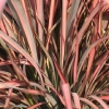 Picture of Phormium Evening Glow