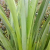 Picture of Phormium Green Dwarf
