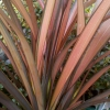 Picture of Phormium Pink Panther