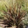Picture of Phormium Surfer