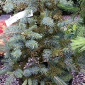 Picture of Picea Pungens Glauca