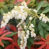 Picture of Pieris Forest Flame