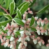 Picture of Pieris Little Heath