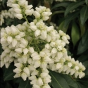 Picture of Pieris Scarlet OHara