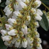 Picture of Pieris Temple Bells