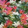Picture of Pieris formosa Wakehurst