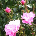 Picture of Pink Bells Std 1.8m Weeper-Rose