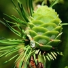 Picture of Pinus Pinea