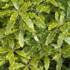 Picture of Pittosporum Eugenioides