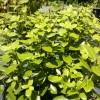Picture of Pittosporum Golfball