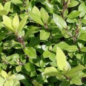 Picture of Pittosporum Little Burger