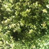 Picture of Pittosporum Mountain Jade