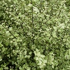 Picture of Pittosporum Silver Sheen