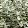 Picture of Pittosporum Silverball