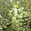 Picture of Pittosporum T Oliver Twist