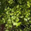 Picture of Pittosporum Tandarra Gold
