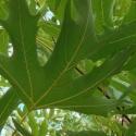Picture of Platanus Orientalis