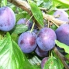 Picture of Plum Angelina Burdett MB