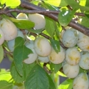 Picture of Plum Dble Coes / Greengage