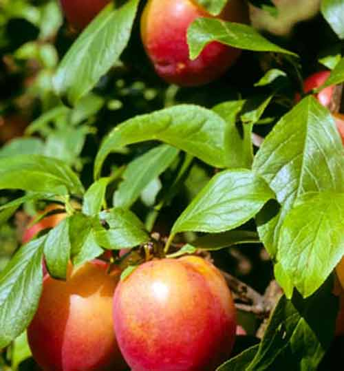 Picture of Plum Fortune