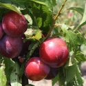 Picture of Plum Ruby Queen