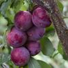 Picture of Plum Satsuma